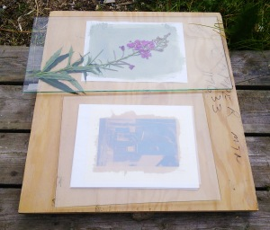 Exposing a cyanotype photogram with fireweed and a Van Dyke image with a film negative, both in sunlight.