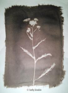Wildflower photogram, Van Dkye print © Kathy Kinakin.