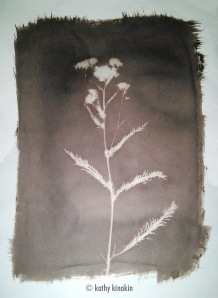 Wildflower photogram, Van Dkye print © Kathy Kinakin.