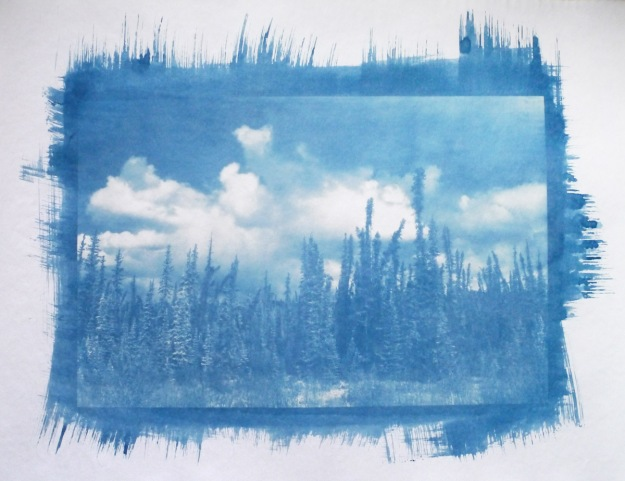 Northern spruce cyanotype © Bill Horne