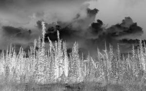 Swamp spruce film negative image, not yet reversed.