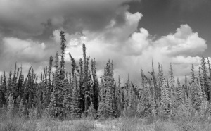 Photograph of swamp spruce, converted to greyscale from RGB using adjustment layers, then flattened.
